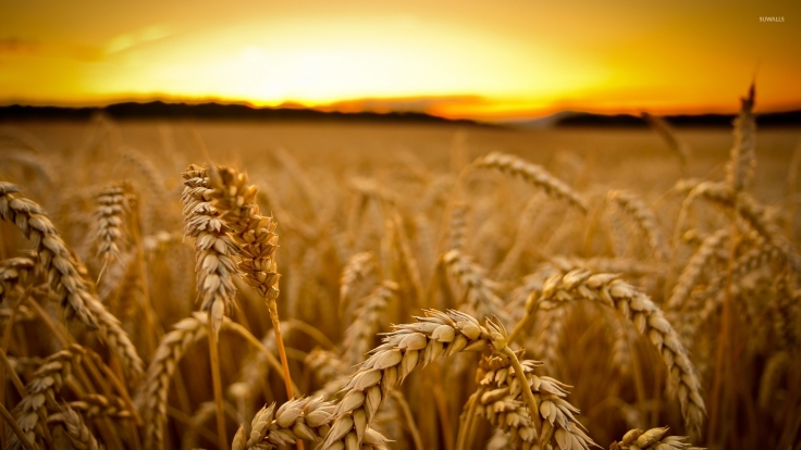 wheat-at-sunset-35108-1920x1080
